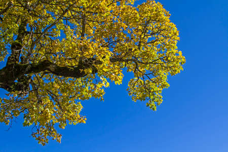 blue summer sky: Autumnal yellow maple leaves against blue sky Stock Photo
