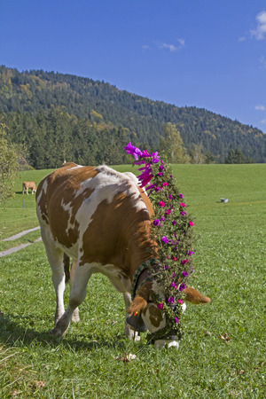 festively: In autumn, the cattle will be festively decorated by the mountain pastures pushed into the valley