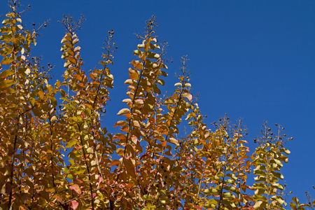 adorning: Lagerstroemia indica - a subtropical tree which adorning with its golden shining autumn leaves many  garden
