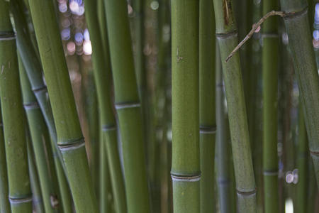 belonging: Background - Closeup of bamboo stalks belonging to the family of Poaceae Stock Photo