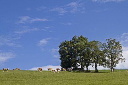 copse: Cows in a meadow in the district of Miesbach Stock Photo