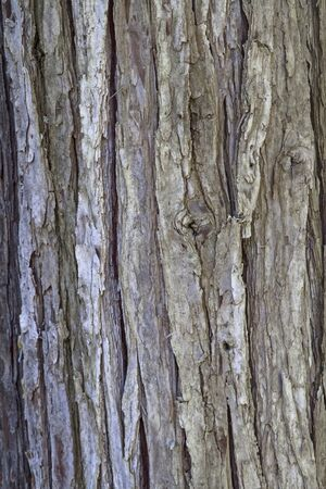 cypress: Background - tree bark of a cypress