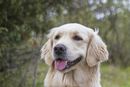 hounds: Portrait of a Golden Retriever in free nature