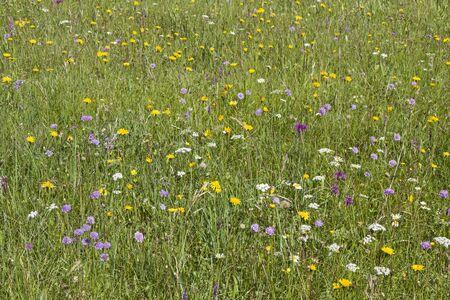 splendor: Flowers splendor on a summer meadow in the Ammergau Alps Stock Photo