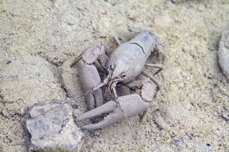 the deposits: this crayfish creeps well camouflaged  over the covered deposits stone floor of the Mirna River