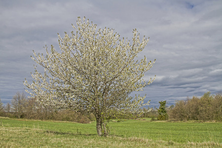 frhling: Blossoming cherry tree in spring