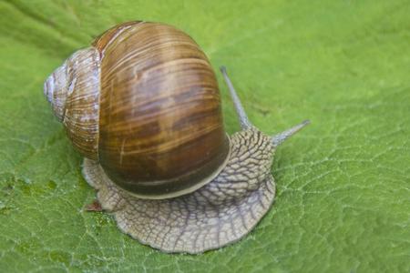 molluscs: Snail crawling on a green leaf