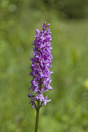 turba: Orchid flower discovered on a peat meadows in Ammergau