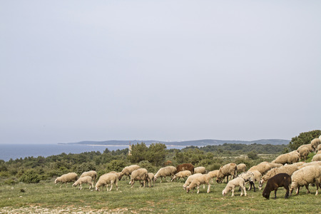 undemanding: undemanding sheep in Istria found on the limestone peninsula Kamenjak still grasses and fodder Stock Photo