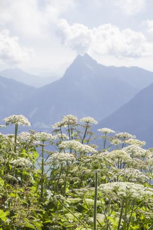 hemlock: El Guffert de 2194 de altura y se encuentra en los Alpes de Brandenberg
