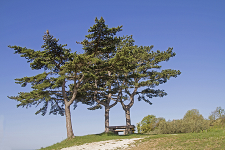 Three pine trees on a path in Istrian countryside