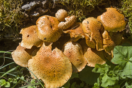 settles: Pholiota - a decorative type of fungus that settles by preference on old rotted wood