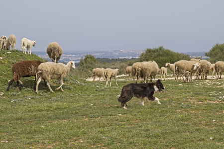 herding dog: undemanding sheep in Istria found on the limestone peninsula Kamenjak still grasses and fodder Stock Photo