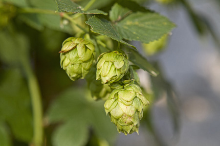 lupulus: The True hops can be up to fifty years old and is used for brewing beer, especially Stock Photo