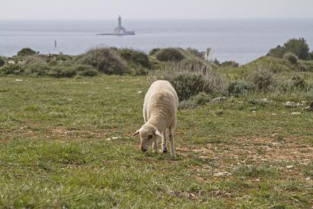 undemanding: undemanding sheep in Istria found on the limestone peninsula Kamenjak still grasses and fodder Stock Photo
