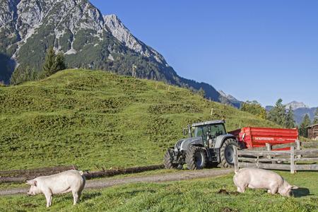 siembra: Los cerdos domésticos gozan de las libertades en un prado alpino en Tirol