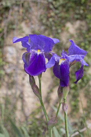 protected plant: Irises inside the Istrian peninsula
