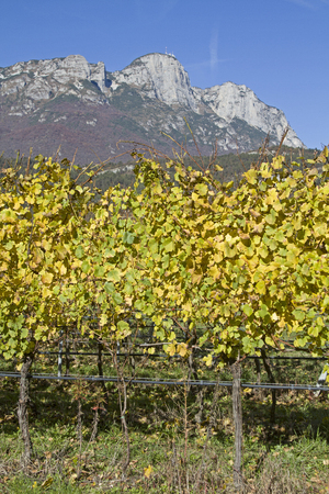 trentino: Autumnly colored vineyards in Trentino