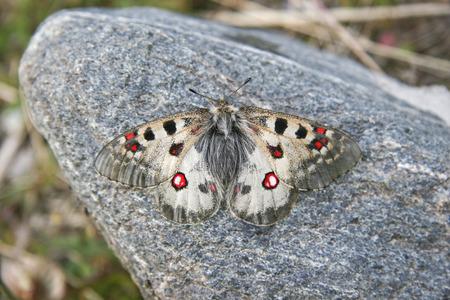 sunning: Apollo butterfly sunning itself on a rock