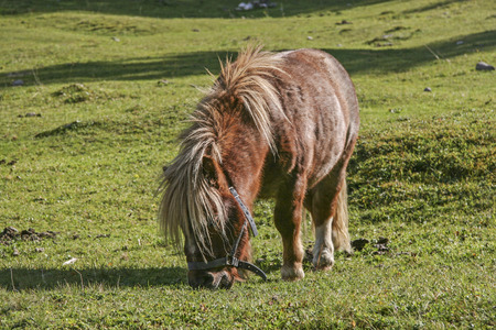 Shaggy brown pony stallion on a green meadow in the mountains of Tyrol