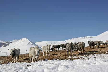 The cattle herd feels well in this meadow in the winter Monti Sibillini