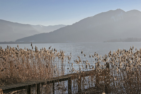 Reed bank on otherwise densely populated lake Tegernsee in Upper Bavaria