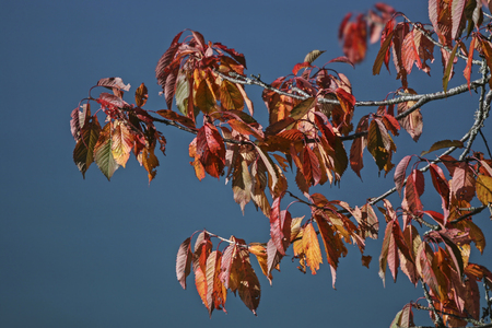 discolored: Red colored deciduous tree in autumn