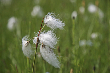 Woolen grasses are a genus within the family of the sour grass plants predominantly populate moorland. Stock Photo