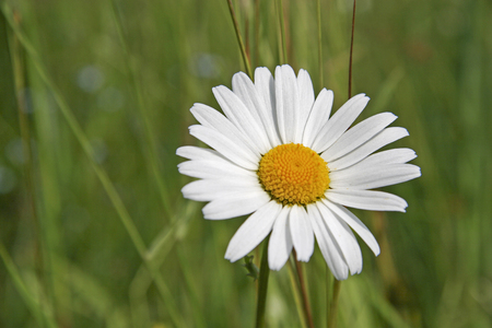 Single flower of a marguerite against a green meadow background Stock Photo