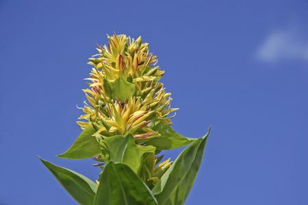 La gentiane jaune, l'eau-de-vie du même nom est fabriquée à partir de ses racines Banque d'images - 71708096