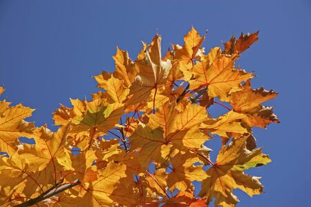 discolored: Yellow-red colored maple leaves against blue sky