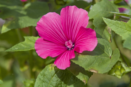 Lavatera trimestis is said to belong to the mallow plants