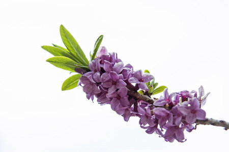 Daphne sericea is poisonous and is regarded as a spring messenger in the mountains