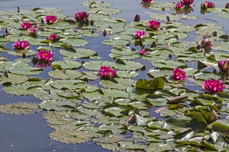 Water lily pond in the Danube park in Regensburg