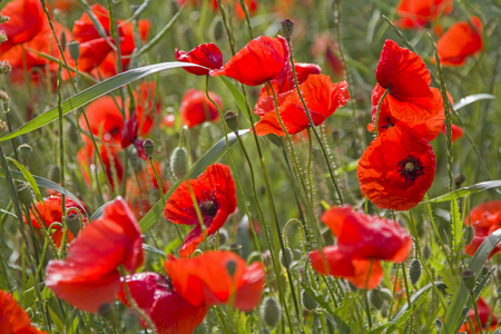 Red poppies in green cereal field in summer Foto de archivo