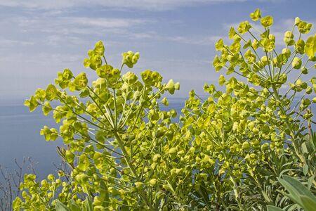 Euphorbia characias는 주로 지중해 동부 연안에서 발견됩니다 스톡 콘텐츠
