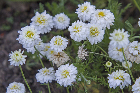 Nobile Treneague - キク科の家族に属している薬用植物