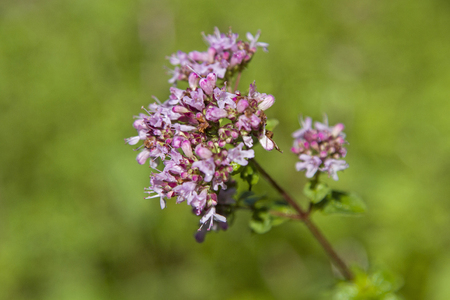 Oregano, also called wild marjoram is mainly used in the kitchen of the Mediterranean and used as a remedy Zdjęcie Seryjne - 83460914