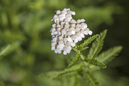 potherb: Common Yarro is used as a medicinal and spice plant
