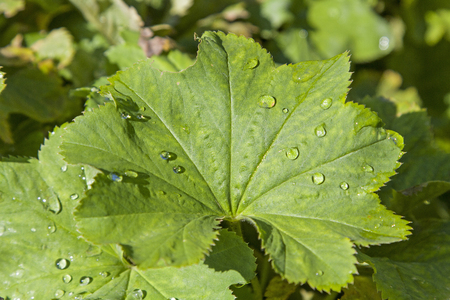 alchemilla: Alchemilla vulgaris -  a popular medicinal plant, which is used in popular medicine mainly for the treatment of wounds, bleeding, womens diseases, ulcers and other ailments.