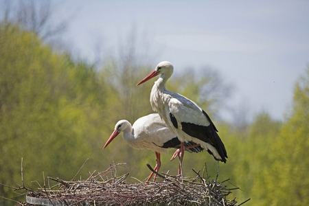 Storks have a long neck, long legs and a large elongated beak Banco de Imagens - 84791710
