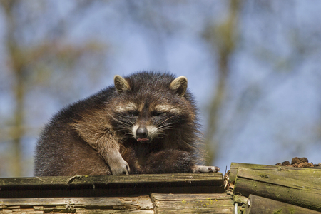 The racoon, originally only living in North America, has also spread throughout Europe Stock Photo