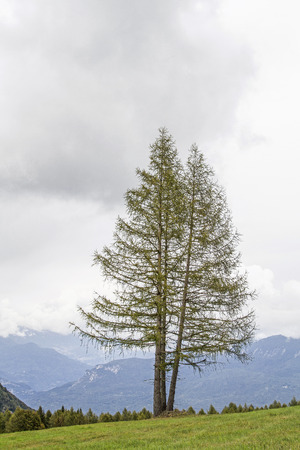 Magnificent larch isolated on a mountain meadow