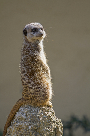 Meerkats live in southern Africa, where they are mainly found in savannahs but also in semi-desert deserts