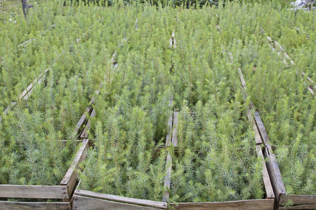 Ammergau 알프스에서 산 경사면의 재조림을위한 나무 모종 스톡 콘텐츠 - 91219810