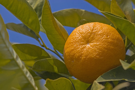 Mandarins in late winter on a tree in Italy ready for harvest Stock Photo