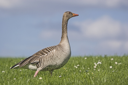 Greylag Goose enjoys the spring sunshine on meadow with daisies Stock Photo