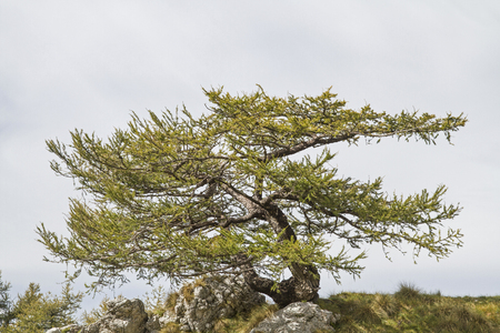 On the hike to the Malga di Ronche in the Monte Bondone area, the hiker comes along this bizarrely grown larch standing on a wild mountain crest