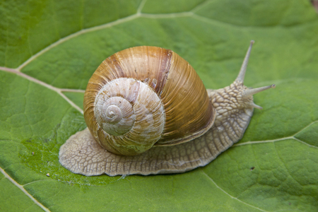 555000 Snail crawls over a juicy green leaf Stock Photo