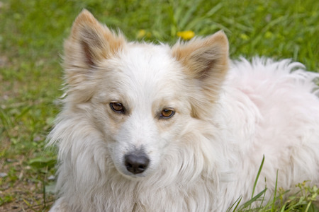 The portrait of a white spitz-dog in front of the green of a mountain meadow Stok Fotoğraf